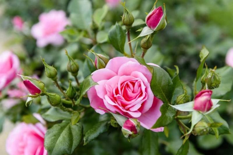 khóm hoa hồng màu hồng