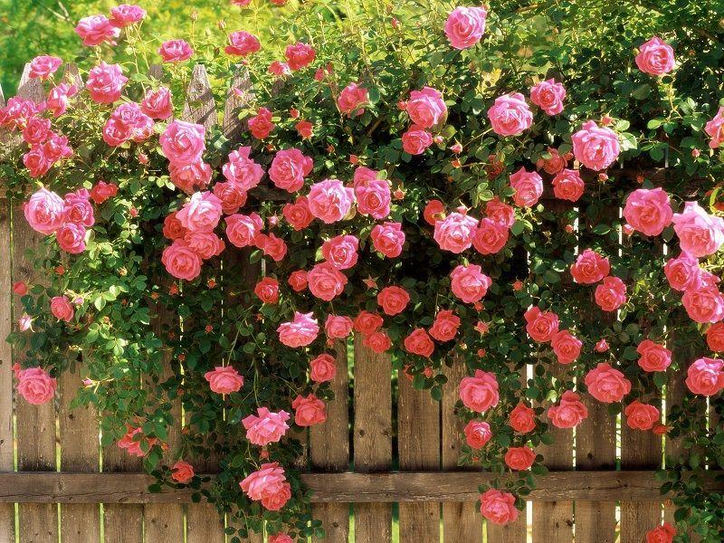 vườn hoa hồng tươi tắn