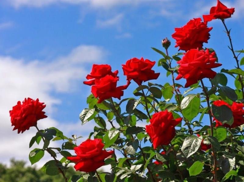 bông hoa hồng đỏ