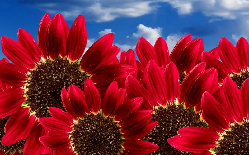 vườn hoa hướng dương đỏ đẹp rực rỡ