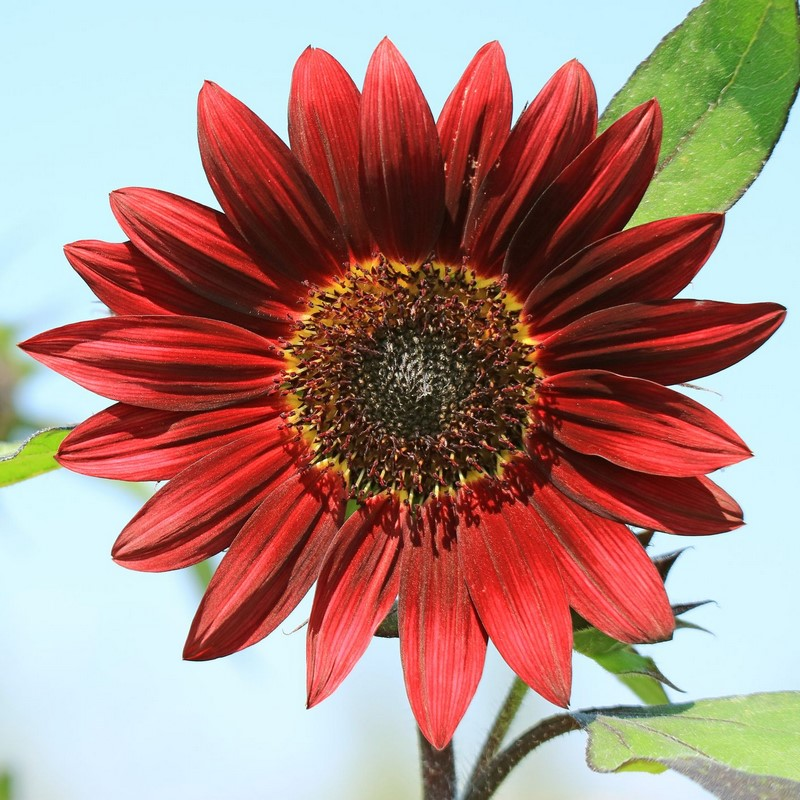 bông hoa hướng dương đỏ