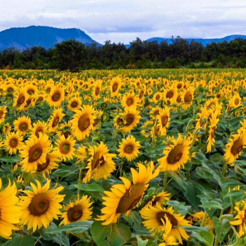 cánh đồng hoa hướng dương nở rộ