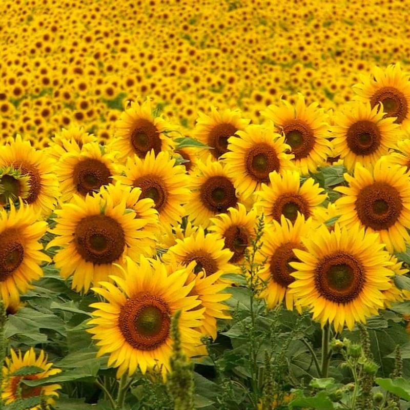 cánh đồng hoa hướng dương vàng rực rỡ