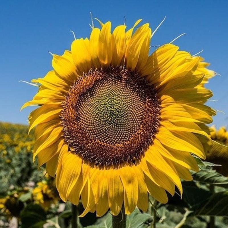 hoa hướng dương khai thác hạt