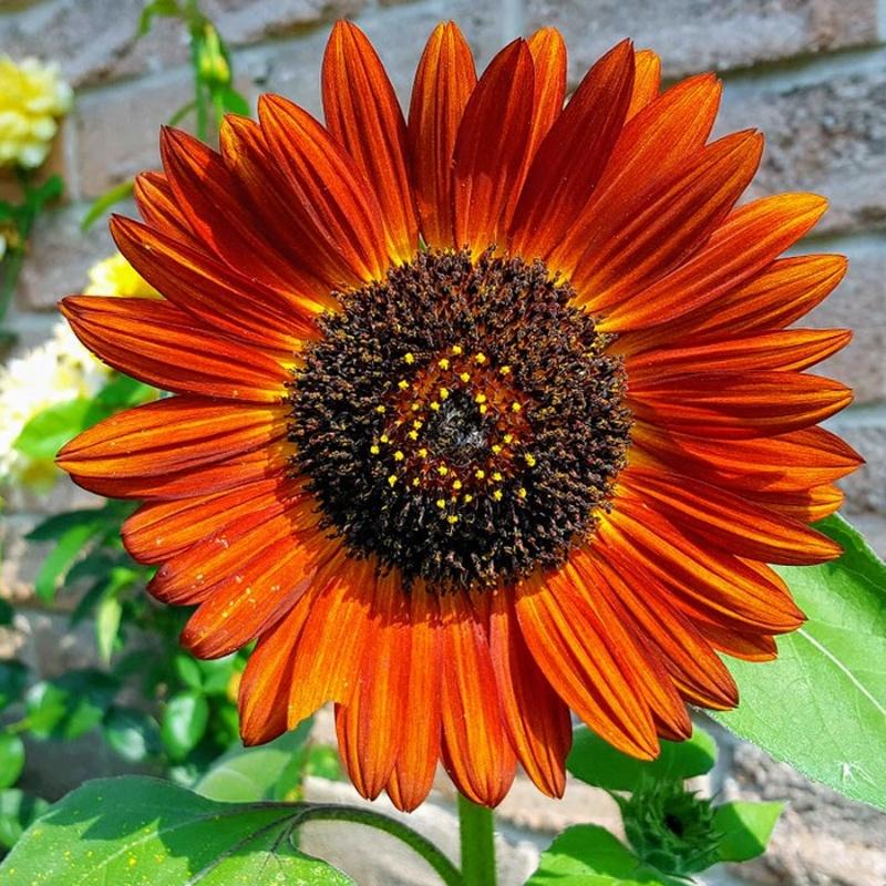 hoa hướng dương Earthwalker màu cam đỏ