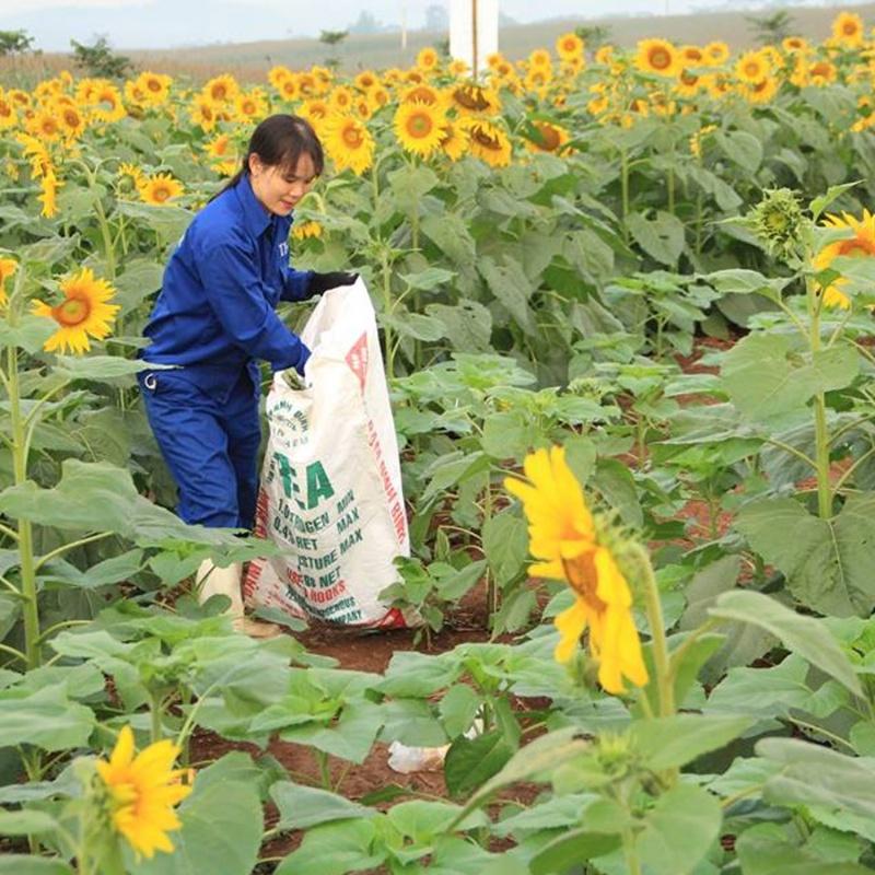 nhân viên đang bón phân cho cây hoa hướng dương