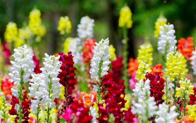 hoa khai trương mõm sói nhiều màu sắc rực rỡ
