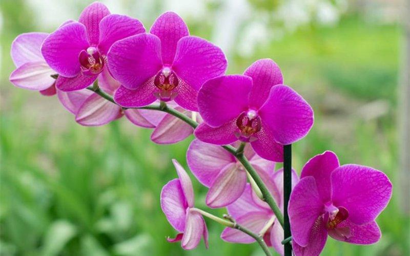 Nhành hoa lan tím