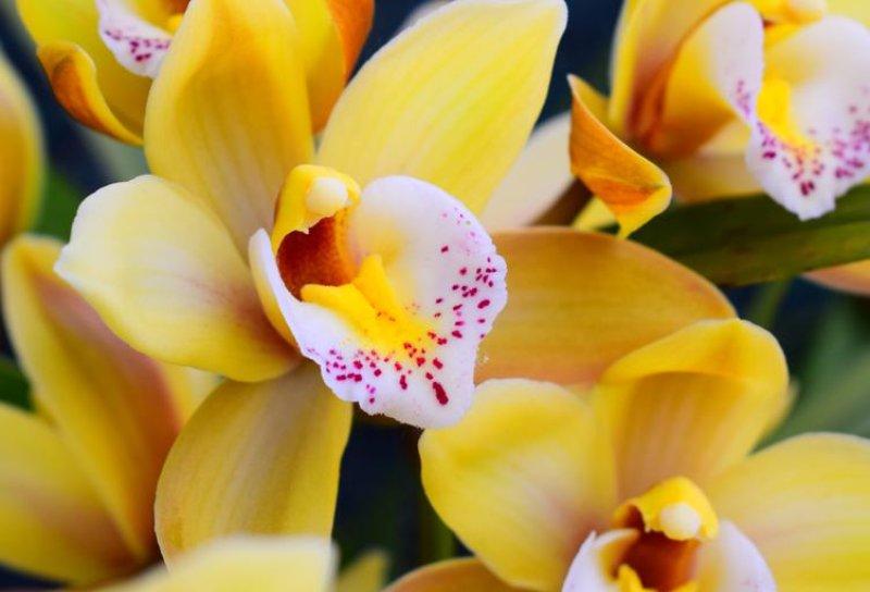 Bông hoa lan vàng rực rỡ