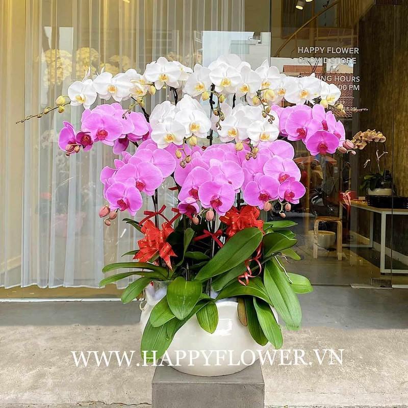 chậu hoa lan hồ điệp màu hồng và màu trắng