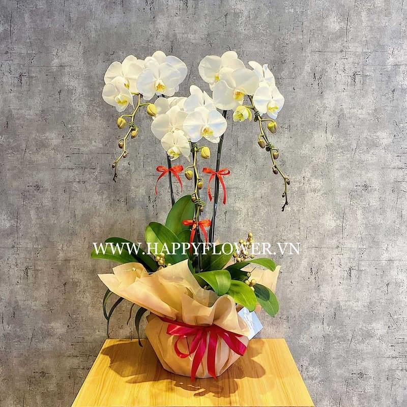 chậu hoa lan hồ điệp màu trắng đơn giản