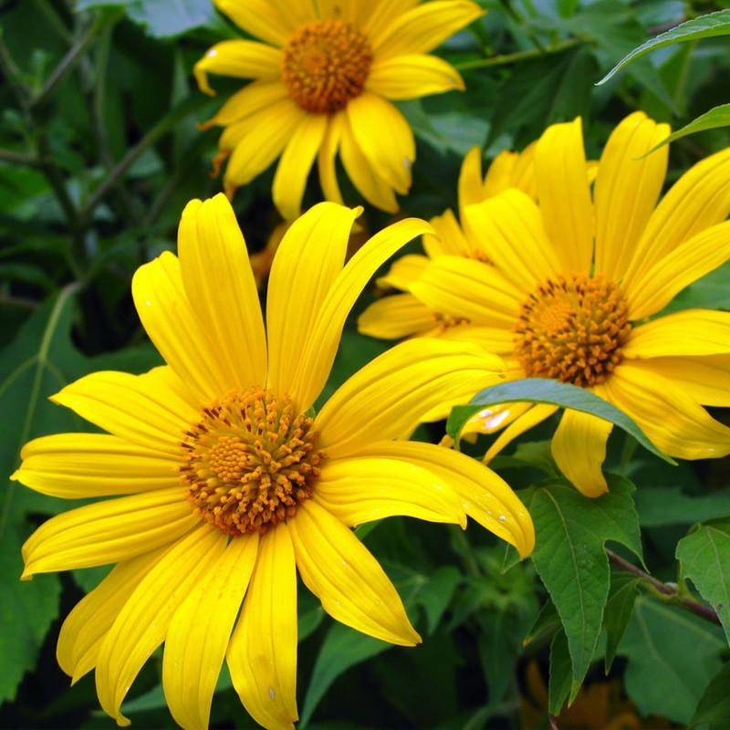 hoa sinh nhật dã quỳ vàng rực rỡ
