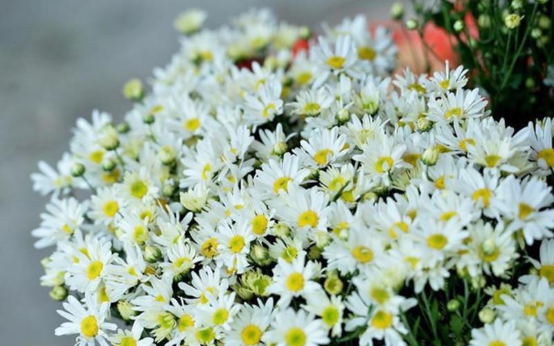 Ngắm nhìn hàng ngàn hoa cúc họa mi khoe sắc