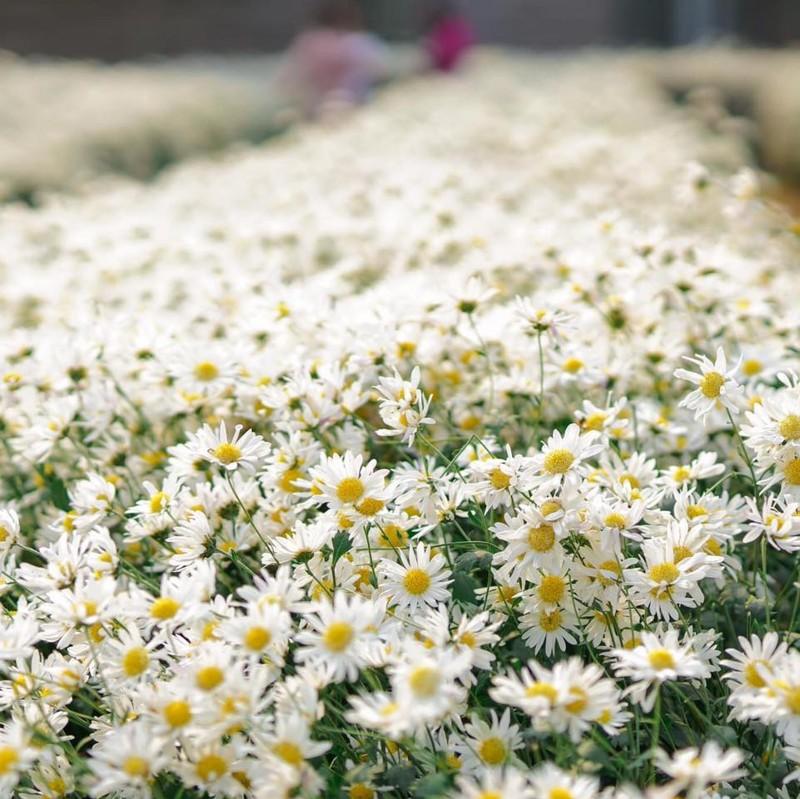 Vẻ đẹp tinh khiết của hoa cúc họa mi
