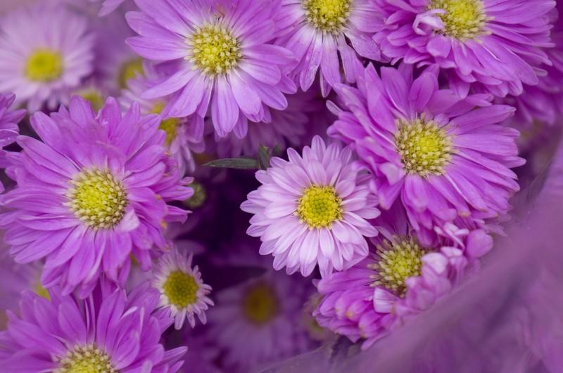 bó hoa cúc màu tím tặng sinh nhật