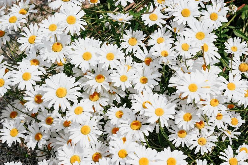 những bông hoa cúc daisy trắng tinh khôi