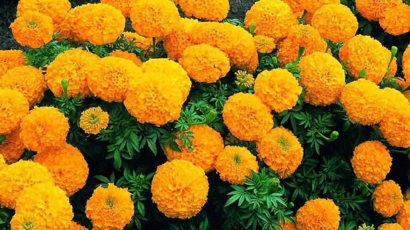 hoa cúc vạn thọ cam rực rỡ