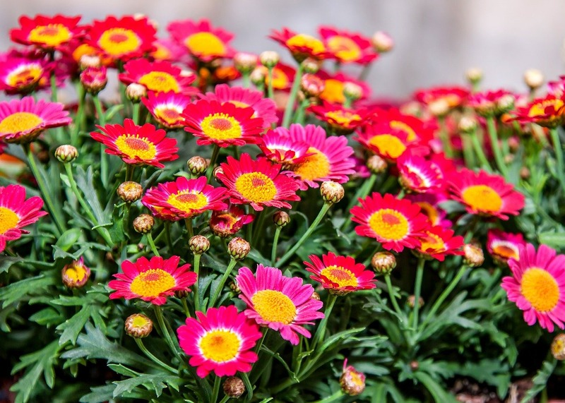 những cành hoa cúc đỏ dành cho sinh nhật tháng 11