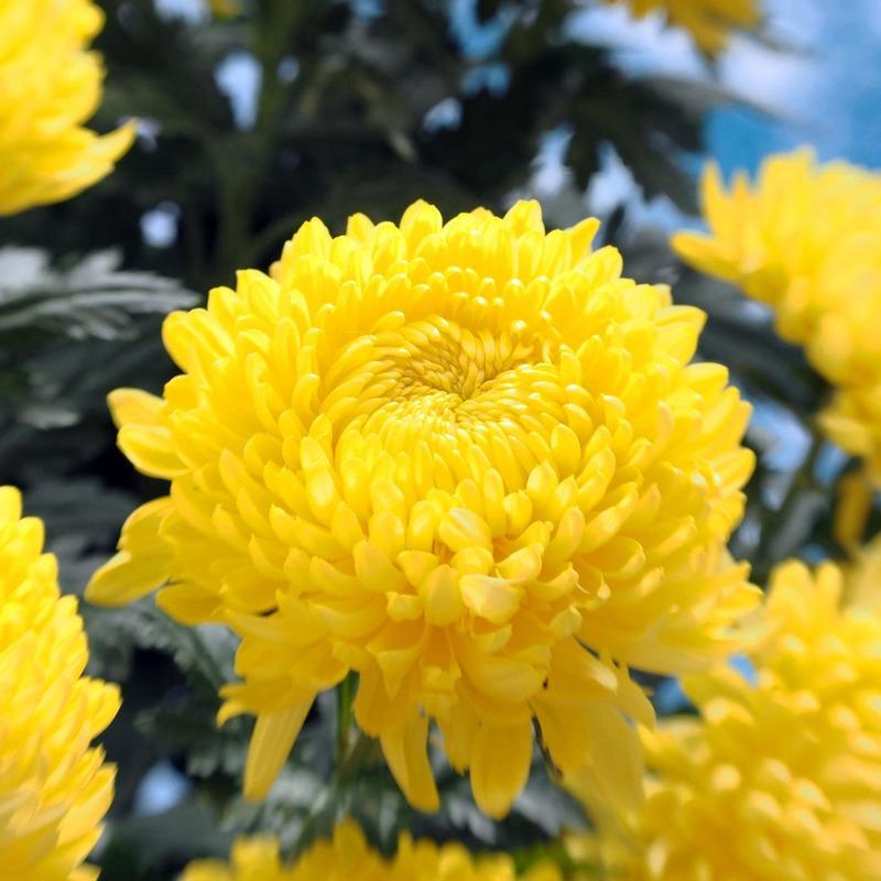 hoa cúc đại đó vàng rực rỡ