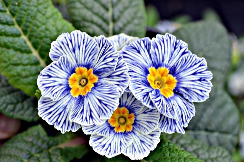 những bông hoa anh thảo xanh cho sinh nhật tháng 2