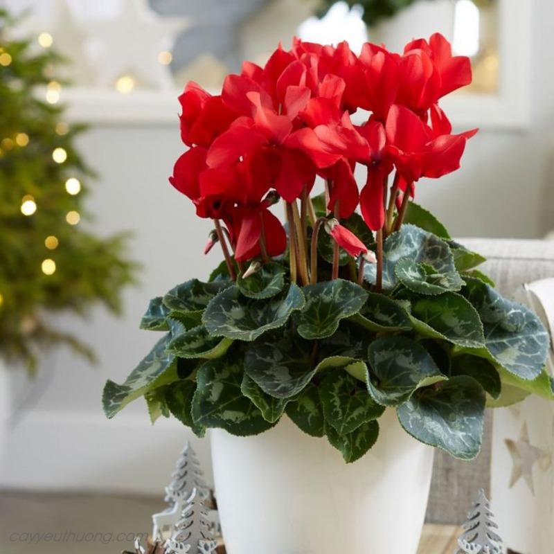 Chậu hoa anh thảo đỏ xinh xắn