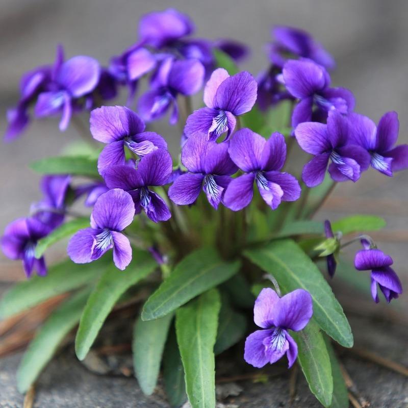 những cành hoa diên vỹ phù hợp với người sinh nhật vào tháng 2