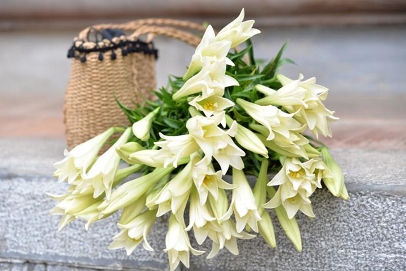 hoa loa kèn trắng đẹp
