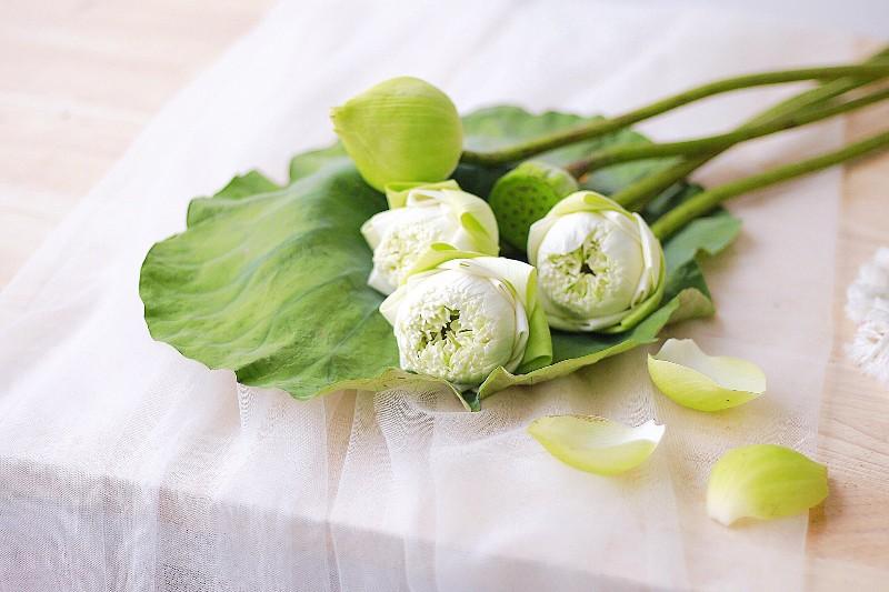 Hoa sen trắng tinh khôi