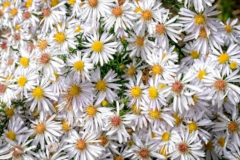 hoa cúc Tây trắng đẹp