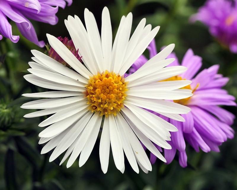 hoa cúc Tây màu trắng và tím