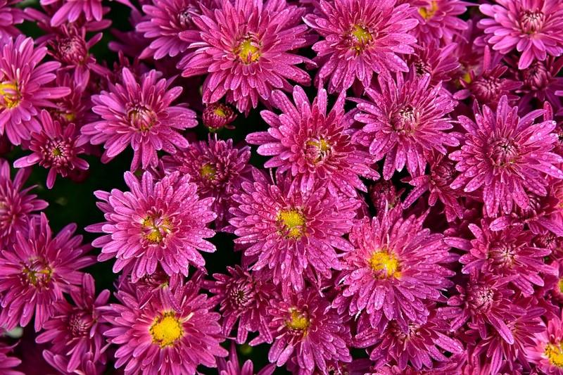 hoa cúc tây màu hồng