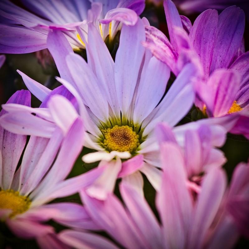 hoa cúc tây màu hồng tím đẹp