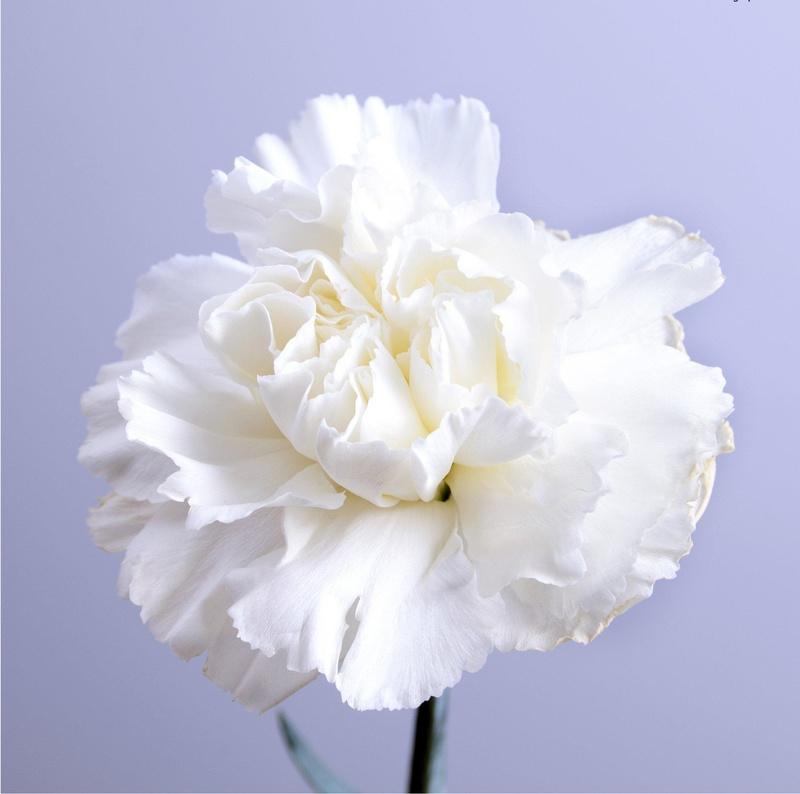 cành hoa cẩm chướng trắng tinh khôi