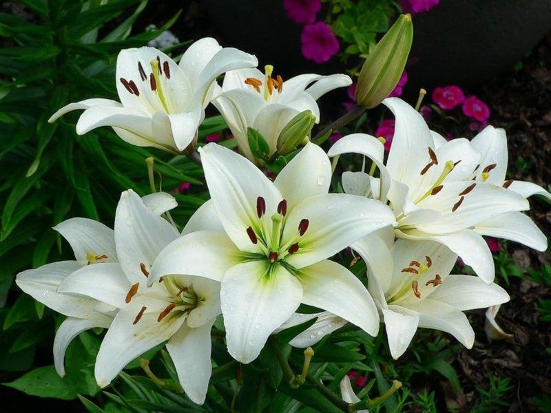 những bông hoa huệ đang nở