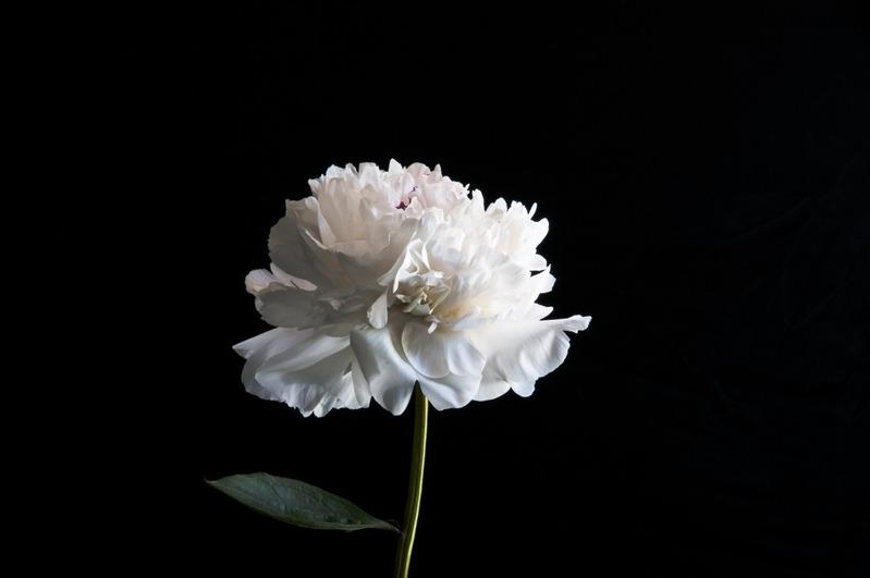 nhành hoa mẫu đơn trắng tinh khiết