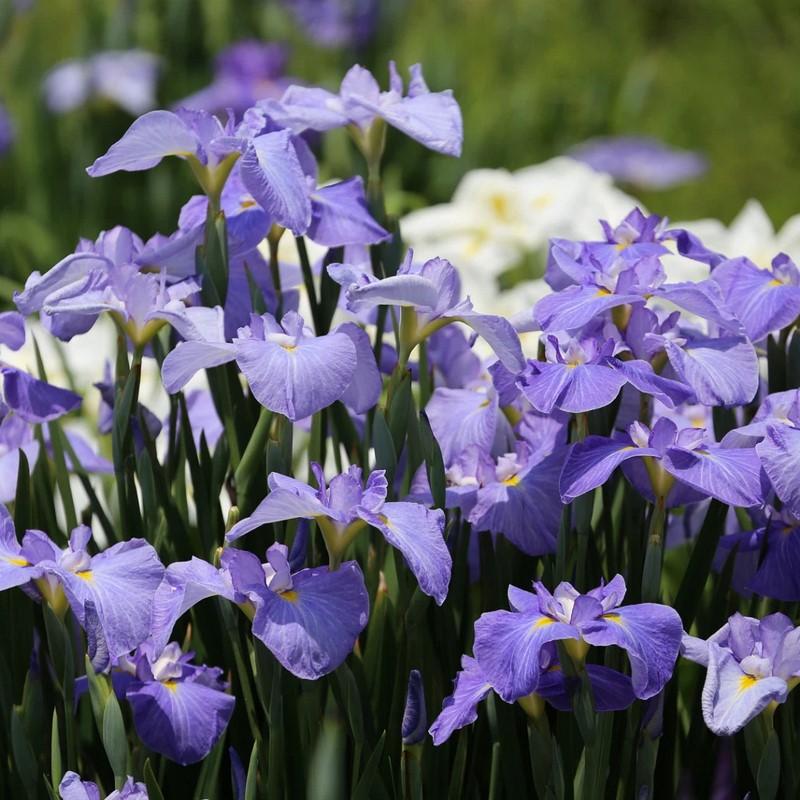 hoa diên vĩ màu tím