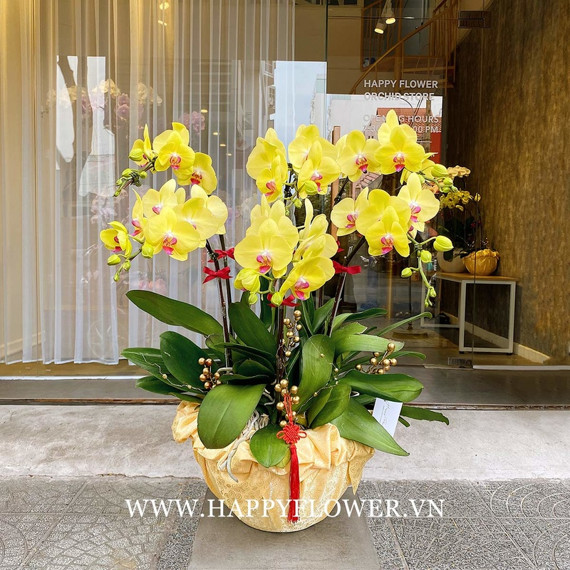 Chậu hoa lan hồ điệp vàng chưng trong ngày Tết Việt Nam.