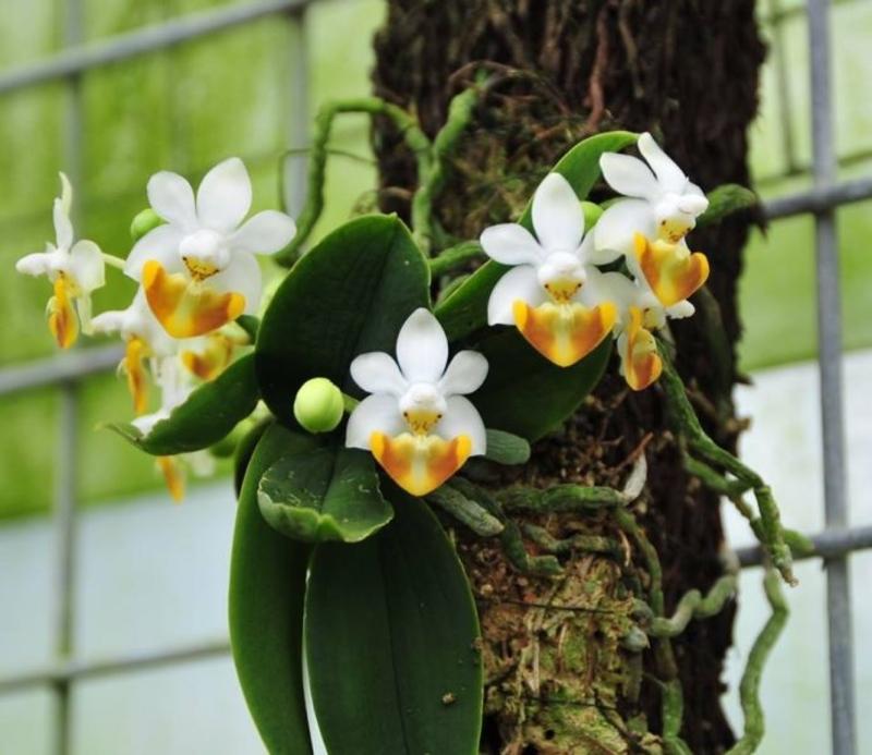 Lan hồ điệp Cúc Phương - Phalaenopsis lobbii