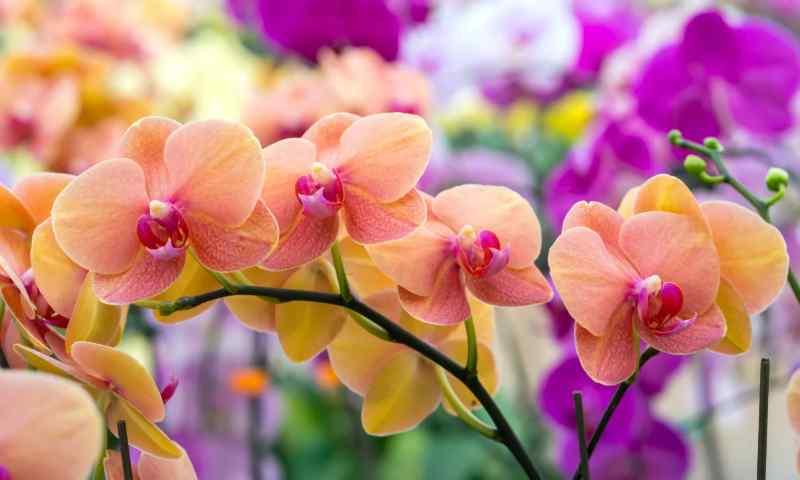 hoa lan nhiều màu sắc