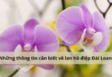 Hoa lan hồ điệp Đài Loan mang vẻ đẹp đặc trưng riêng