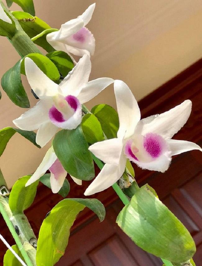 Nhành hoa lan nở rộ