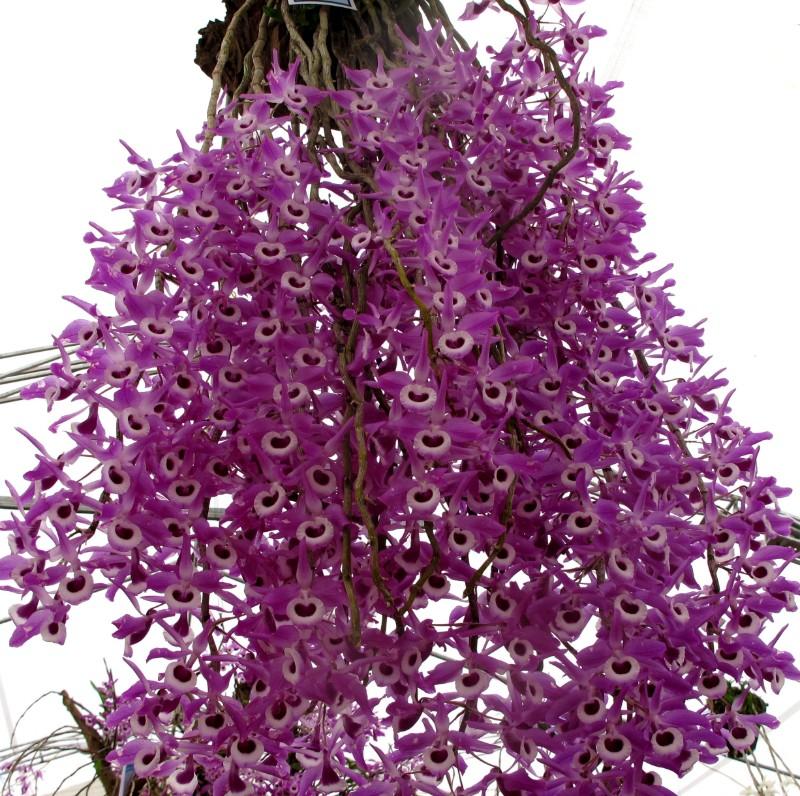 Chùm hoa phi điệp màu tím đẹp rực rỡ