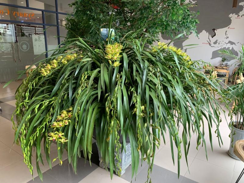 Bụi hoa lan Trần Mộng lớn