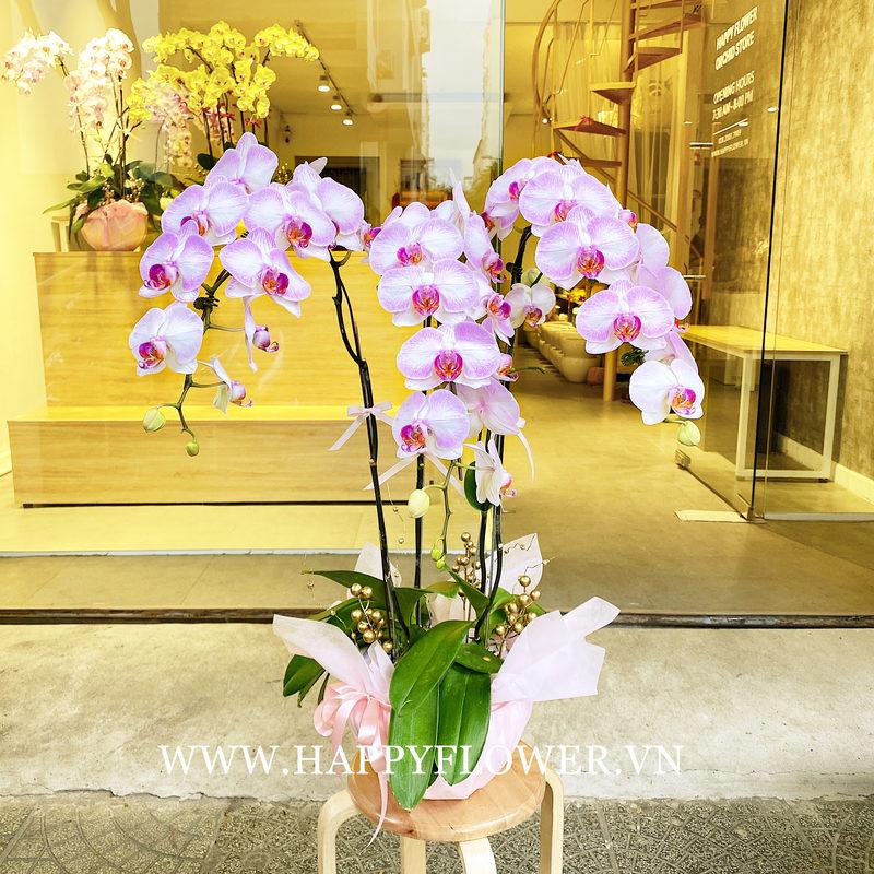 Chậu hoa lan hồ điệp phong thủy màu trắng tím nhạt