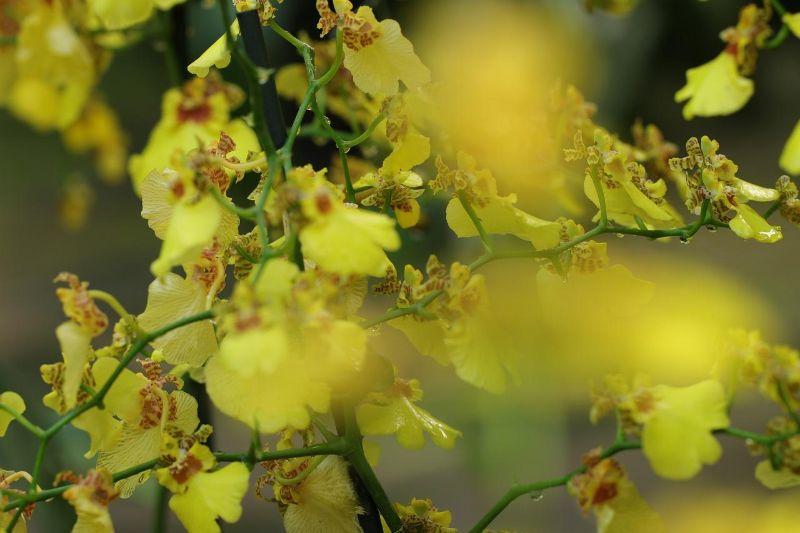 lan hồ điệp rừng màu vàng rực rỡ