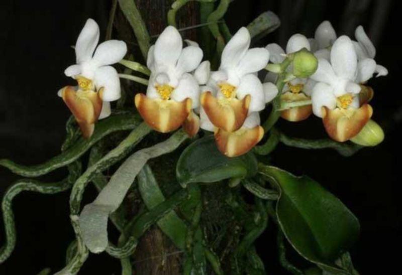 hoa lan hồ điệp rừng mang sắc trắng