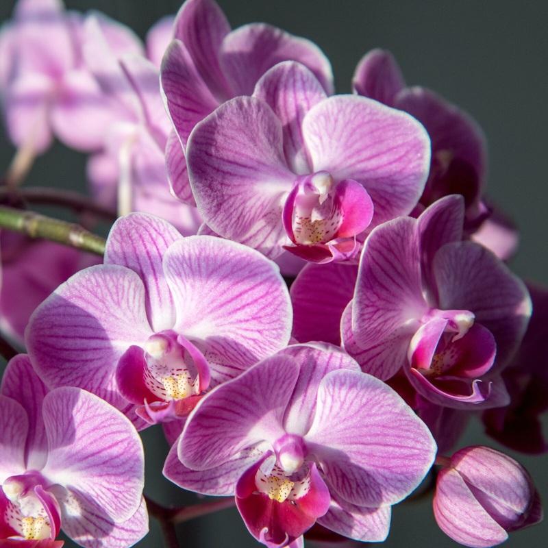 Lan hồ điệp tím Phalaenopsis