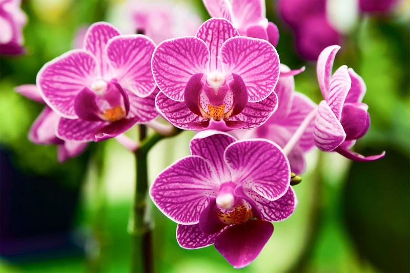 Lan hồ điệp tím Phalaenopsis nổi tiếng với kích thước hoa lớn, đẹp và bền