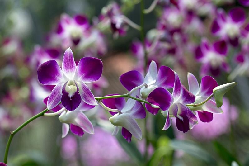Lan hồ điệp tím Dendrobiums tuyệt đẹp và quý hiếm