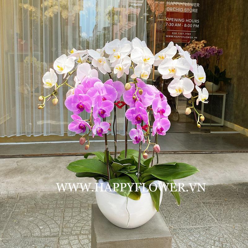 Chậu hoa lan hồ điệp trắng kết hợp với hoa lan hồ điệp tím sang trọng